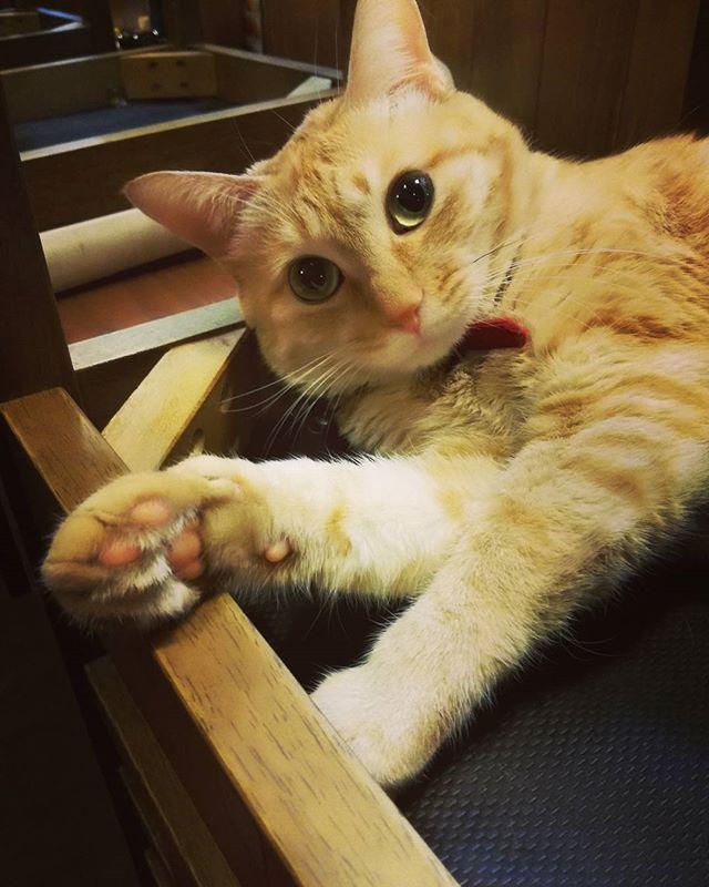 #ねこ#猫#ネコ#cat#にゃんこ#茶とら猫#愛猫#看板猫#猫部#ねこすたぐらむ#にゃんすたグラム#猫好きさんと繋がりたい#うちの猫は天使#うちの猫を自慢したい#猫がいる暮らし#猫がいる幸せ#肉球 2日ぶりの更新 れおさんとピンクの肉球(´∀`)b