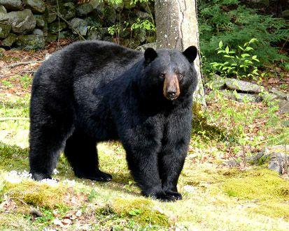 Zwarte beer ......Black Bear