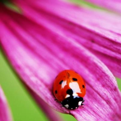 """the Norse believed that the ladybug came to earth by lightning and was connected to Freya Goddess of love and beauty, abundance, desire, love, fertility and spring. Also Freya is the incarnation of wisdom and healing.  which in German still carries the """"Goddess"""" in name: Marienkäfer. It is a symbol of luck, because of the red body together with 7 black points."""