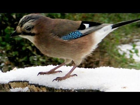 Eurasian Jay Bird at Tehidy Woods in The Snow - Le Geai des Chenes - YouTube