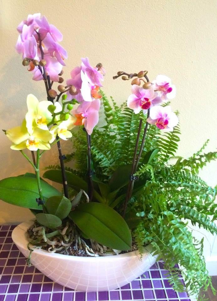 Phalaenopsis and nephrolepis by ROSMARINO / Orchideje a kapradí :)