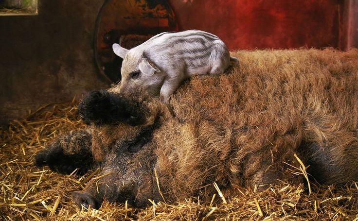 Meet the Mangalitsa, the Hairy Pig That's the Kobe Beef of Pork - http://modernfarmer.com/2014/03/meet-mangalitsa-hairy-pig-thats-kobe-beef-pork/?utm_source=PN&utm_medium=Pinterest&utm_campaign=SNAP%2Bfrom%2BModern+Farmer