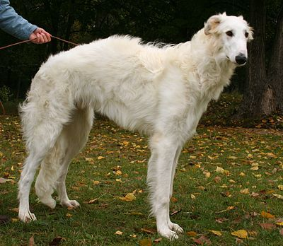 """The Borzoi (literally """"fast""""), also called the Russian wolfhound, is a breed of domestic dog (Canis lupus familiaris). Descended from dogs brought to Russia from central Asian countries, it is similar in shape to a greyhound, and is also a member of the sighthound family."""
