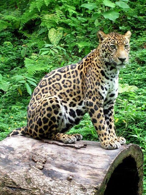 An Important Feline specie in Costa Rica. Jaguar is the biggest cat in Costa Rica