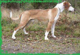 Охотничьи гончие собаки  Охотничьи гончие собаки – одна из древнейших пород собак, которые пользуются популярностью у охотников не только России, но и всего мира. Гончих собак хвалят за такие качества, как паратость, полаз, чутье, нестомчивость, вязкость, доносчивость и послушание.  гончаяПаратость – это скорость, с которой собака идет за зверем. Благодаря огромной физической силе и выносливости (нестомчивости) гончая преследует зверя с такой скоростью, что у него нет шансов скрыться. Но…