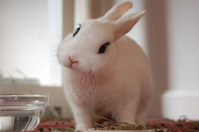 Their sweet dispositions make the Blanc de Hotot rabbit great for families looking to have their first pet.