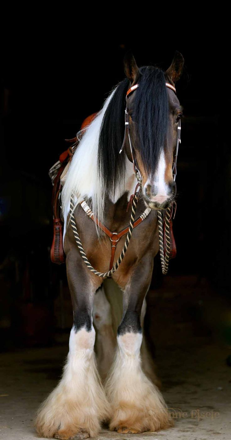 Gypsy cob beauty. I've seen him pinned numerous times as a Clydesdale although he looks nothing like a Clydesdale!