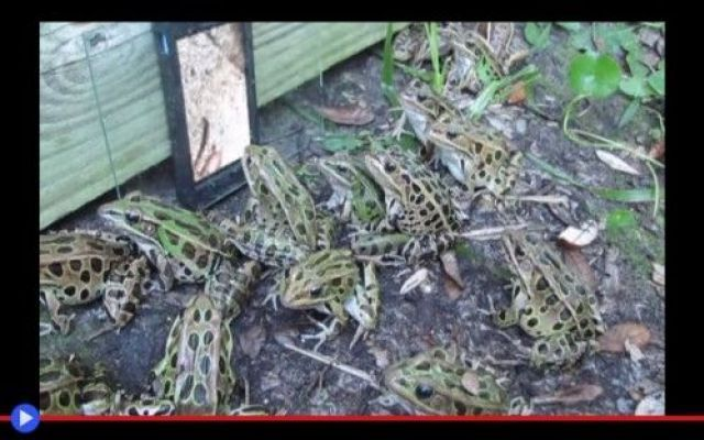 La televisione per le rane leopardo #animali #rane #cellulari #divertente