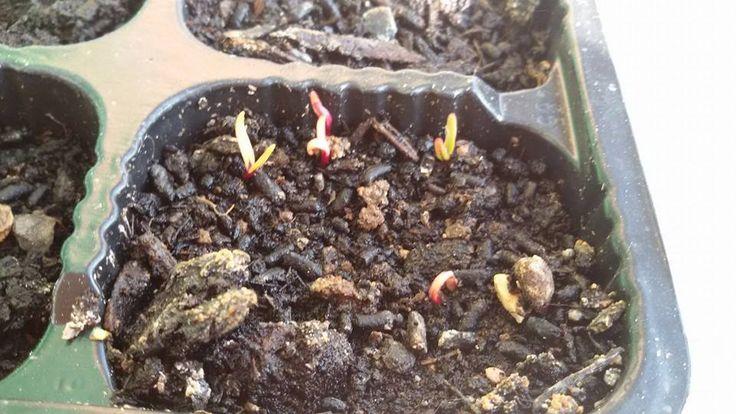 #vegetable #senzantorto #orto #germoglio #rape #spring #primavera #foligno