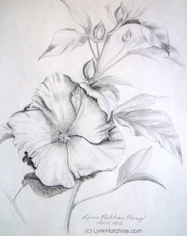 23. Lynn Hutchins – Hibiscus - Graphite drawing of a hibiscus flower is quite detailed and decorative.