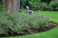Looks great as a groundcover. Proven Winners Lo & Behold Blue Chip Buddleia (dwarf butterfly bush)