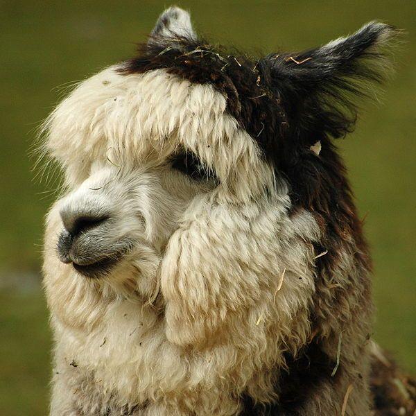 Best Alpaca Images On Pinterest Farm Animals Alpacas And - 22 hilarious alpaca hairstyles