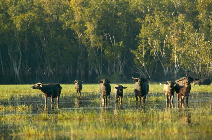 Bamurru Plains, Top End - Wetlands and Buffalo