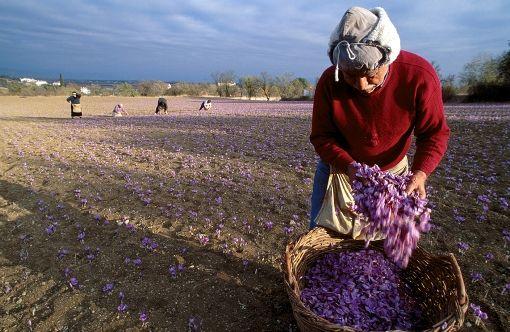 VISIT GREECE| Harvesting the crocus #Greece #Kozani #Macedonia #crocus