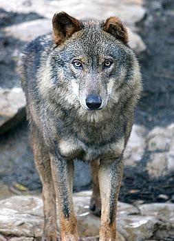 Lobo ibérico y fauna en la Sierra de la Culebra » Tuawo