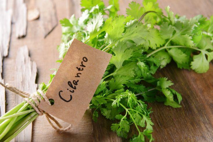 Growing Cilantro/Coriander Organically