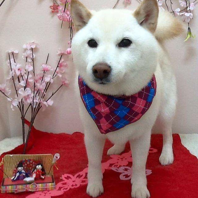 3月3日 ひな祭りですね . #ひなまつり#犬#柴犬#白柴#いぬ #dog#shiba#shibainu#shibastagram#dogstagram#개#개스타그램#독스타그램#강아지#멍멍이#멍스타그램#하얀개#시바견#ひな祭り