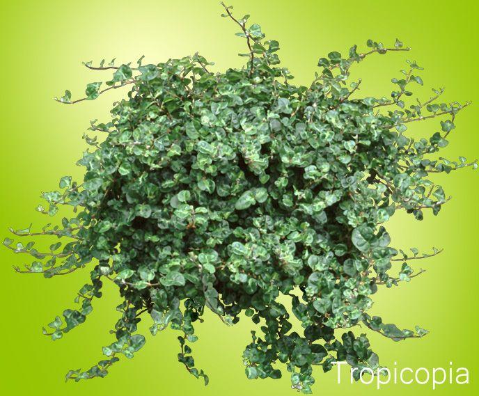 Dark Green Leafy Creeping Fig Plant Ficus Pumila Do Surprisingly