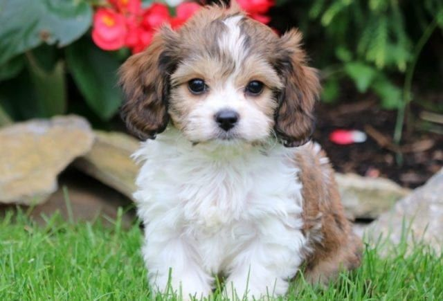 Cavachon Puppies For Sale Puppy Adoption Keystone Puppies In 2020 Cavachon Puppies Cavachon Cavachon Dog