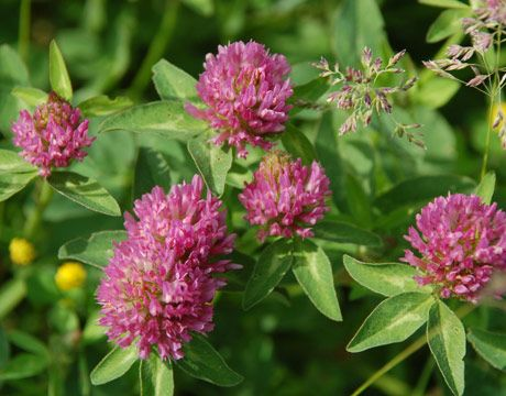 """Summer - Red Clover. Use the flowers and leaves to make a tea. Good for """"women's stuff,"""" too."""