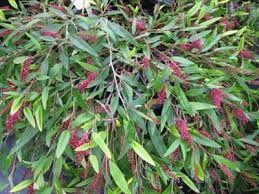 Grevillea poorinda 'Royal Mantle'