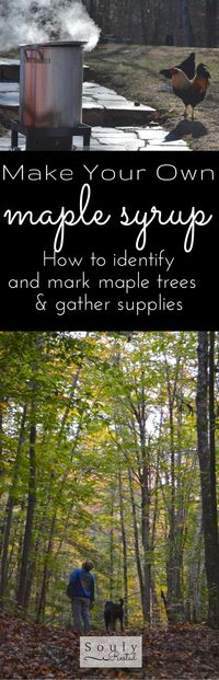 Make your own maple syrup... step 1 is to identify your maple trees...