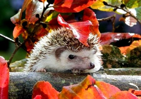Just a hedgehog in the leaves