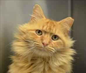 Maine coon cats sale va