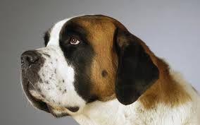 wallpapers san bernardo cachorro hd - Buscar con Google