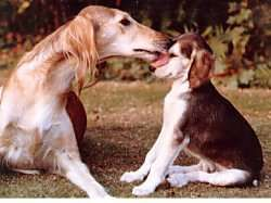 Gentle, friendly, even-tempered. The Saluki.