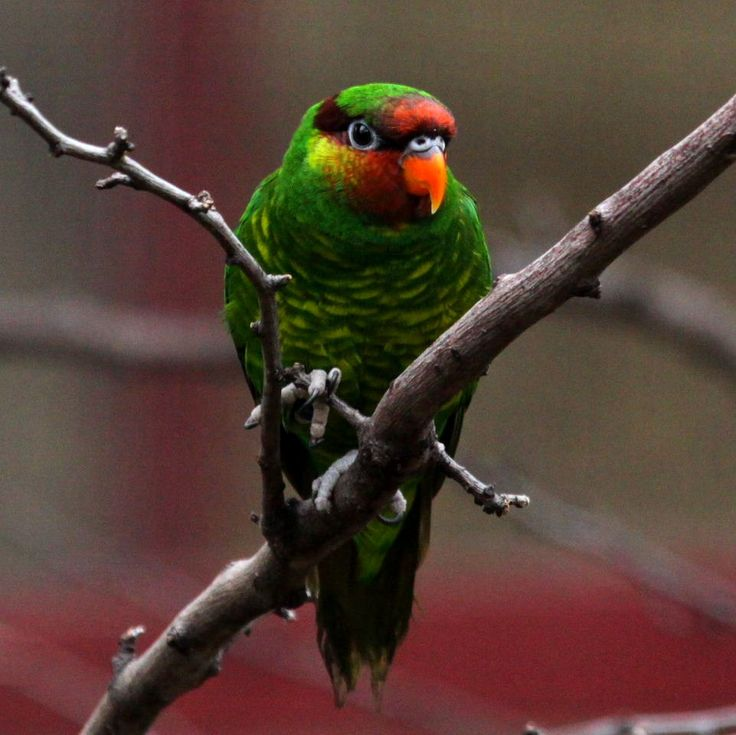 Mindanao Lorikeet or Mount Apo Lorikeet