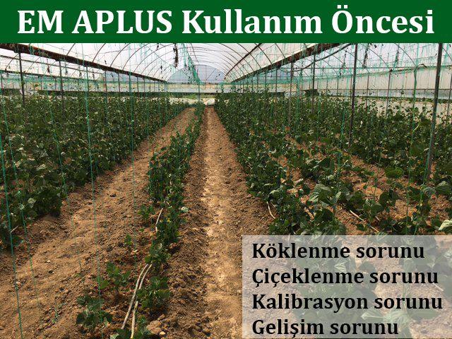 Etkin Mikroorganizmalar: Yeşil Fasulye'de Etkin Mikroorganizma (EM) Kullanı...