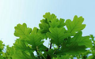 Oak | Flickr - Photo Sharing!