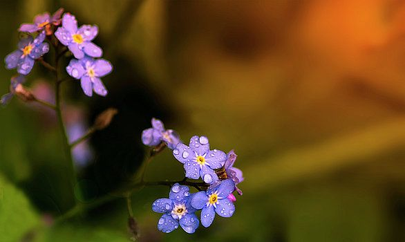 http://fineartamerica.com/featured/flowers-a-forget-me-not-in-morning-dew-alexander-ovchinnikov.html