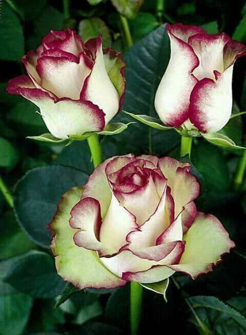 I'm not a lover of roses ... my preference is wildflowers, but these are perfection  ♥