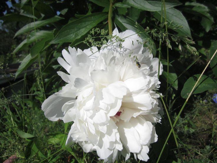 Белые пионы следует высаживать в полутени или даже на солнечном месте, так как они требуют минимум 4-6 часов в сутки прямого солнечного света; При высадке белых пионов в грунт проследите за тем, чтобы их корневая система не находилась слишком глубоко, так как это неправильно. Если корни растения будут уходить далеко в землю, то цветение может быть кратковременным, болезненным, также, это негативно скажется на развитии растения в целом;