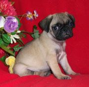 Miniature tea cup Pug Puppies | pug puppies for sale in chicago illinois