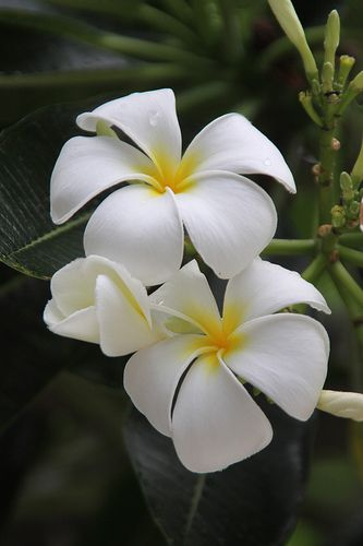 plumeria- one of my favorite flowers from Hawaii. Makes beautiful leis too!