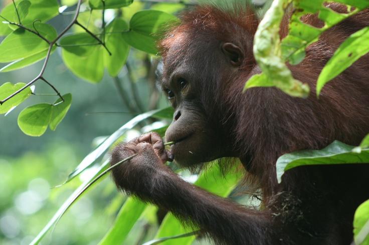 Orang utan, Sepilok, Sabah, Borneo, 2008 #greatwalker