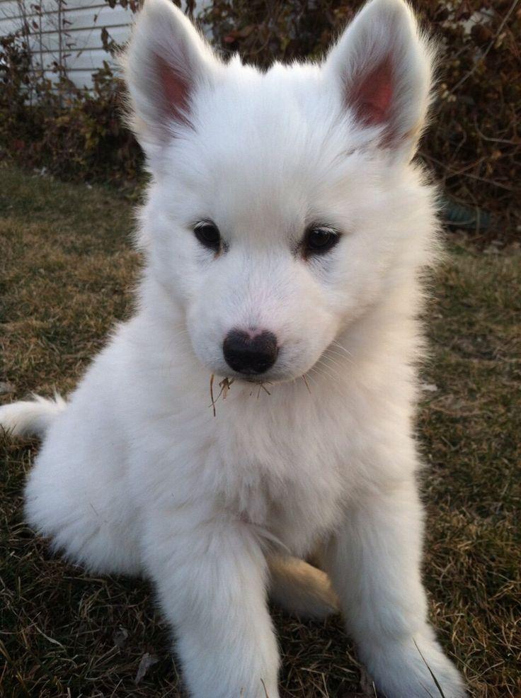 Pin by Rhianna on Furbabies | White husky puppy, Cute ...