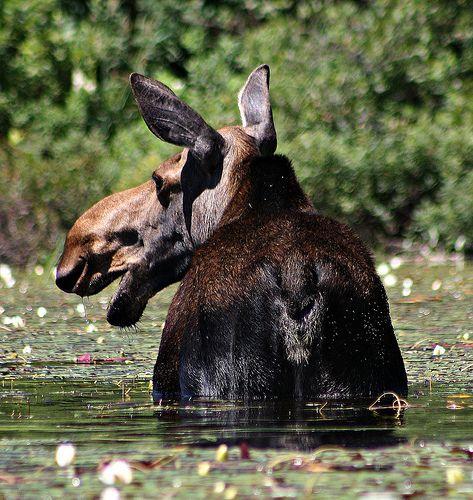 Algonquin Park Moose