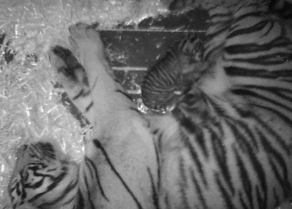 Endangered tiger born at San Francisco zoo (Photo: SF Zoo / @NBC Bay Area)