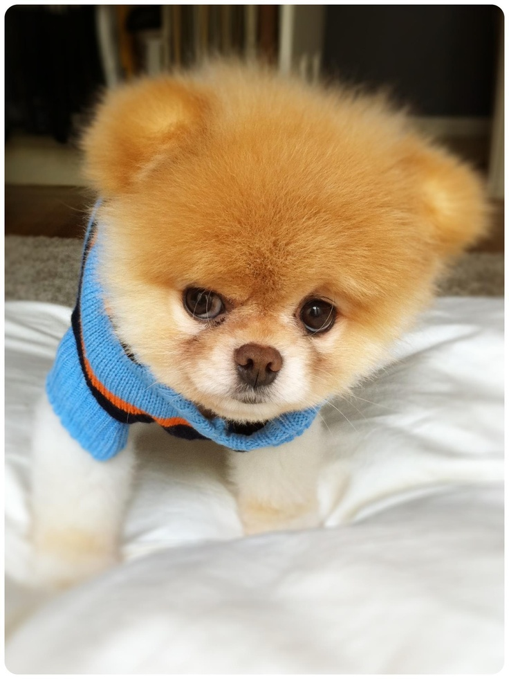 Boo the bear pomeranian puppy!!