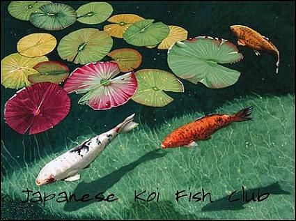 825 best images about koi gold fish on pinterest koi for Green koi fish for sale