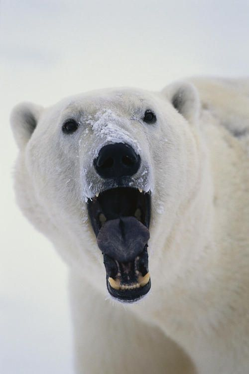 Polar Bear With Open Mouth Cape | Takayuki Maekawa   Beautiful !!! \O/