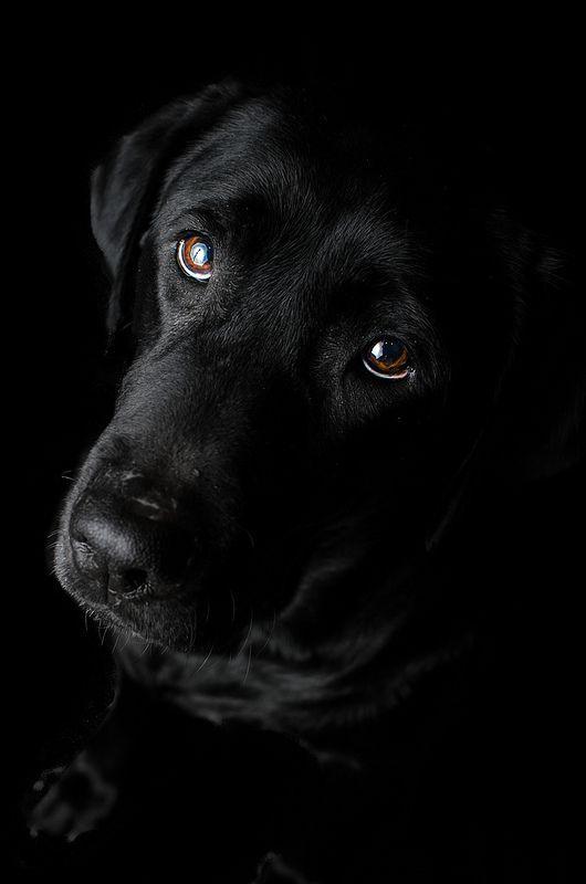 Labrador Retriever negro ... tan hermoso !!!