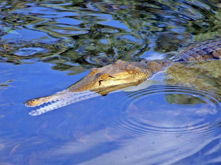 Fauna, Free Image, Free Photo, Ahead of the Crocodile, Australia Animal