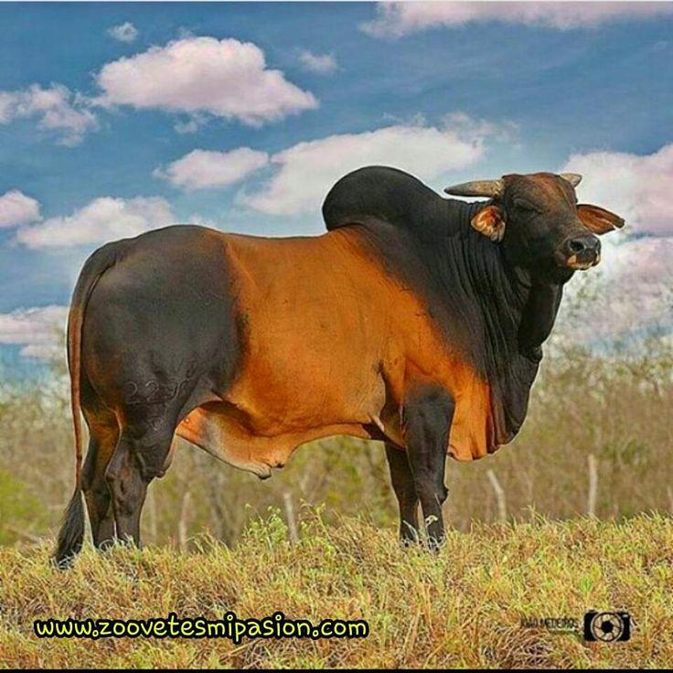 32. Raza de Ganado Vacuno Red sindi bull