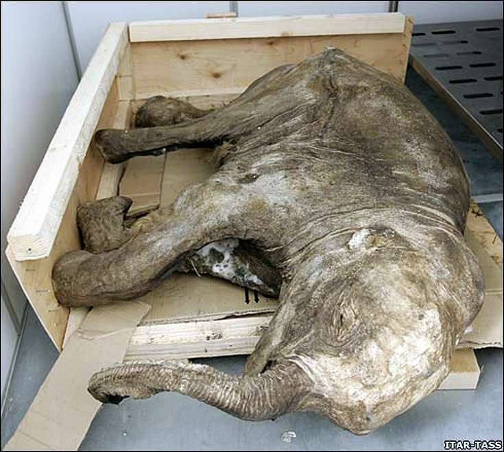 Lyuba was only about four months old when she died on a full stomach. Ten thousand odd years later she is set to become world famous.      Scientists have hailed the discovery of the baby woolly mammoth, dubbed Lyuba, as one of the finest examples of preserved mammoths ever discovered after it emerged from the melting permafrost in western Siberia.