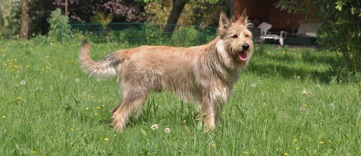 De Picardische herdershond wordt beschouwd als één van de oudste Franse herdershonden  en is tijdens de 9e eeuw in Noord-Frankrijk ontstaan.  Deze rashond werd gebruikt om zowel schapen als vee te hoeden en tijdens de Eerste  en de Tweede Wereldoorlog was dit ras bijna uitgestorven.
